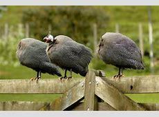 Helmeted guineafowl | New Zealand Birds Online Skylark Books