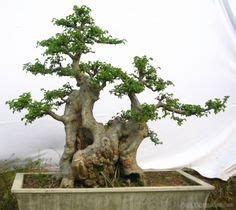 Gergaji Bonsai By Artha Bonsai Vio jual bonsai hokiantea no 09 cantik artha bonsai vio