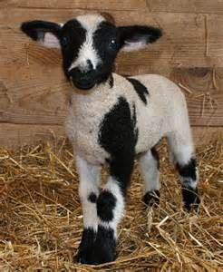 Babydoll sheep for sale six wags over texas babydoll sheep for