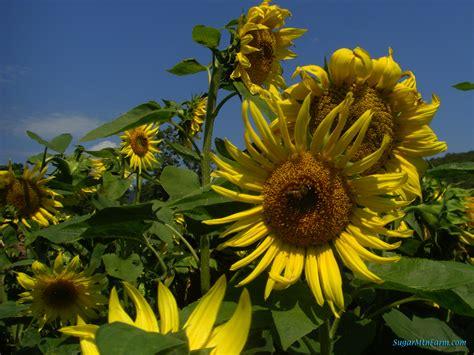 black sunflower seed growers bulk black sunflower seeds for planting flowers ideas