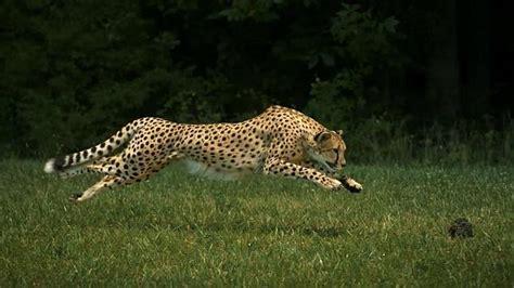 el guepardo mas veloz del mundo  metros en  segundos abces