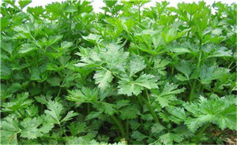 Jual Polybag Di Palembang 10 macam tumbuhan obat dan manfaatnya