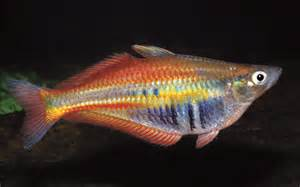 freshwater fish learn about exotic freshwater fish fish compatibility