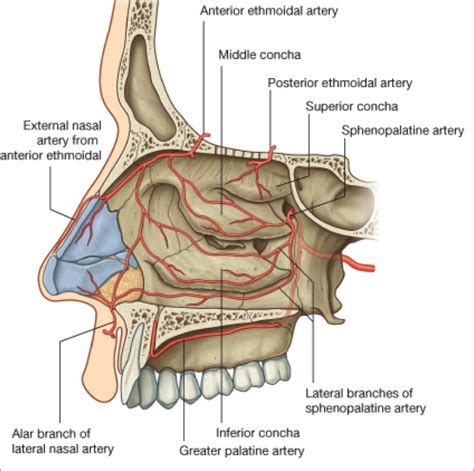 diagram of sinus cavity ethmoid sinus anatomy human anatomy diagram