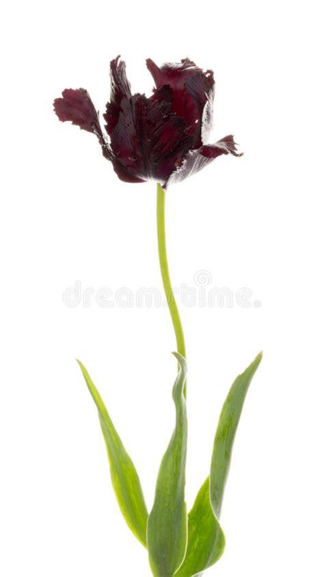 tulipano nero fiore tulipano nero fiore prezzo fiori idea immagine