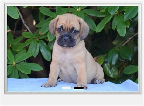 beagle and pug cross puggle pug cross beagle breeds picture