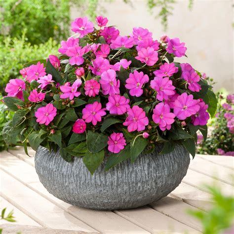sunpatiens colors l impatiens sunpatiens compact lilac excellent