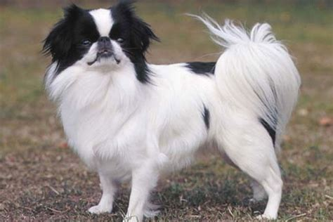 japanese chin puppies for sale japanese chin puppies for sale from reputable breeders