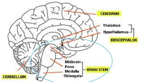 brain stem diagram brain stem pictures