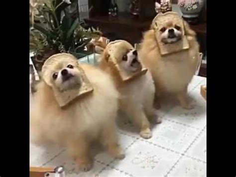 bread puppies meme bread pomeranian