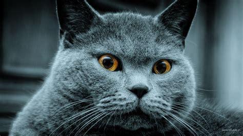 wallpaper blue cat russian blue cat wallpaper 102435