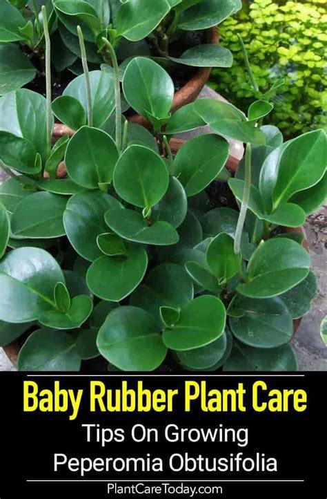 peperomia obtusifolia care baby rubber plant light soil