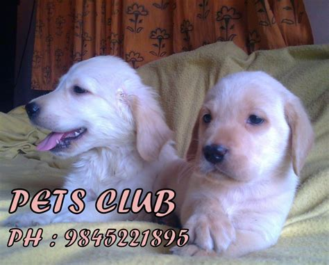 golden retriever price in india bangalore lab dogs puppies for sale rs 6000 karnataka dogs for sale puppies for sale