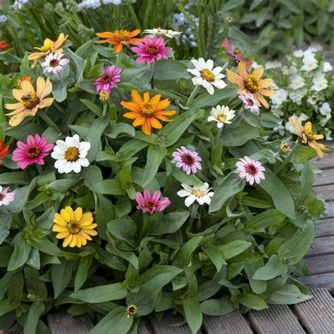 25 Best Ideas About Zinnia Elegans On Pinterest Zinnia Zinnias Flower Garden