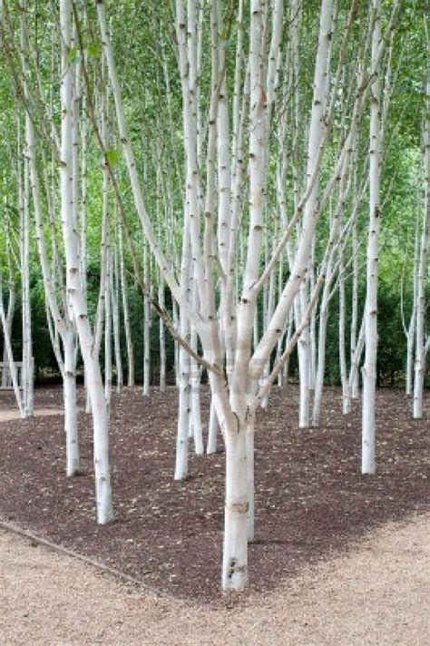 a group of silver birch trees they can be planted close