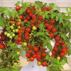 Vegetables vegetable seeds tomato seeds tomato maskotka
