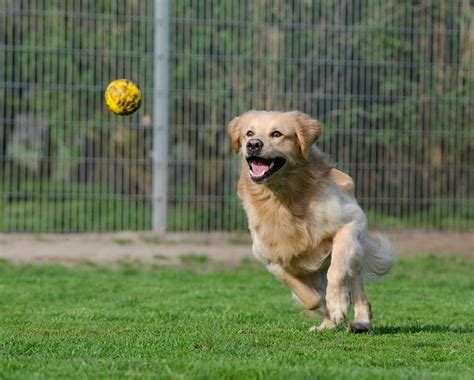 golden retriever knee problems therapy benefits archives the namaste counsel