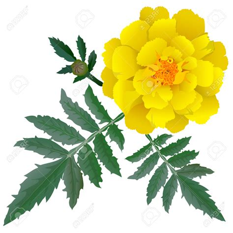 Yellow Marigold yellow marigold clipart clipground