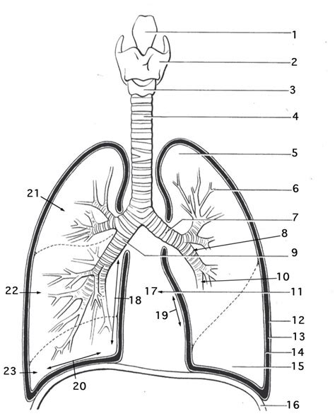 labeling a diagram diagram of lungs to label anatomy organ
