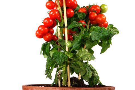 Tomatensorten F R Gew Chshaus 1860 by Regenschutz F 252 R Tomaten Tomatendach Als Regenschutz