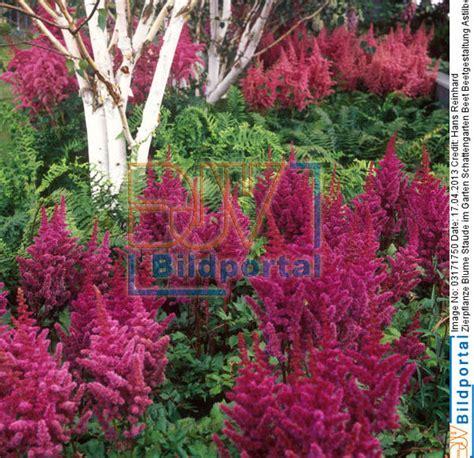 garten zierpflanze details zu 0003171750 zierpflanze blume staude im