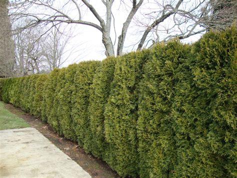 Arborvitae Patio Patio Total Lawn Care Inc Lawn Maintenance Lawn