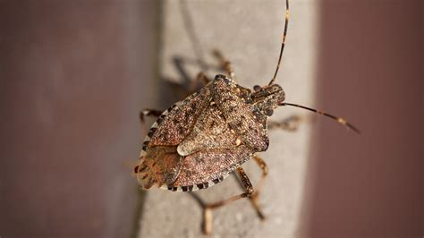 how to keep stink bugs out of your house stink bugs are back here s how to keep the pests out of your home boston 25 news