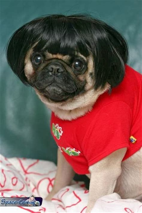 pug with wig pug with a wig pictures