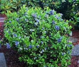 patio blueberry bush blueberry bushes in landscaping these are excellent in the