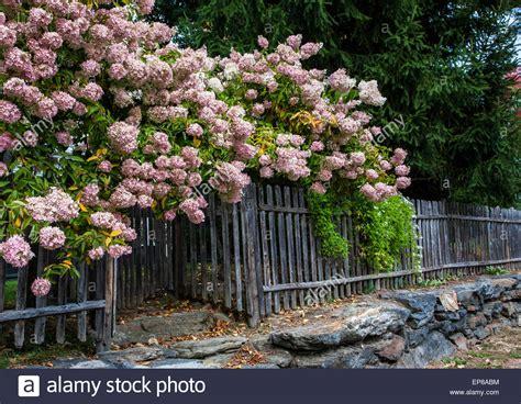 flowering shrubs for new pink flowering hydrangea shrub border a vintage picket