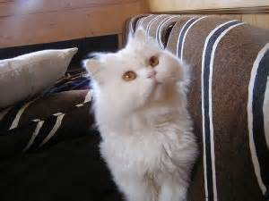 gatti persiani da adottare annunci animali gatti persiani in adozione