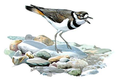 marcia davis precocious killdeer chicks quick to flee the
