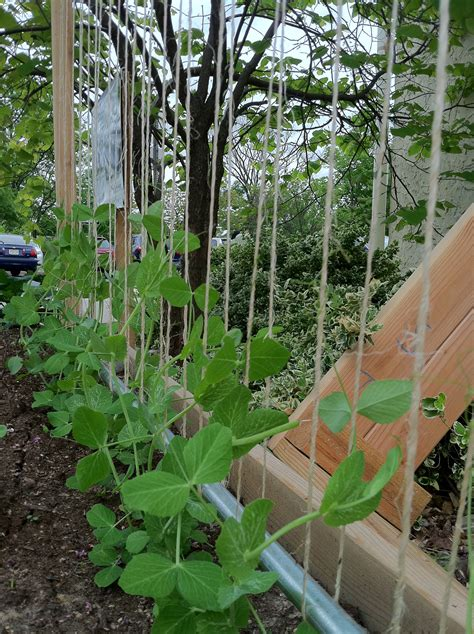 Pea Trellis How To Make A Pea Trellis Bountiful Boxes