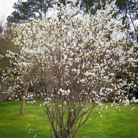 the trees serviceberry for sale the tree center