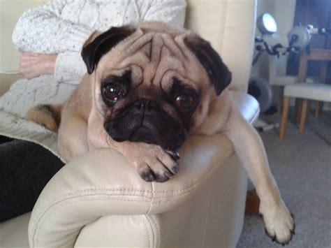 pug 1 year for stud fawn pug 1 year with papers chesterfield derbyshire pets4homes
