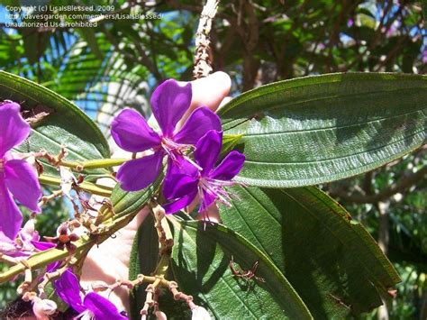 purple flowering shrub identification plant identification closed what is this purple