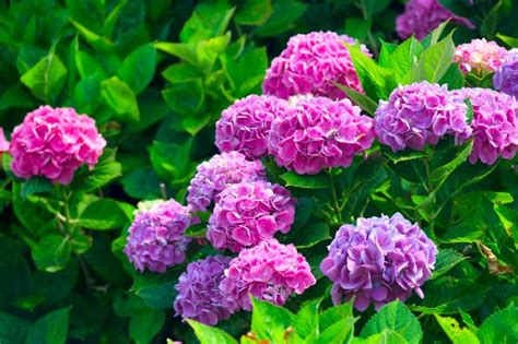 Rhododendron Giftig by Osazovac 237 Pl 225 N Projektovan 233 Zahrady