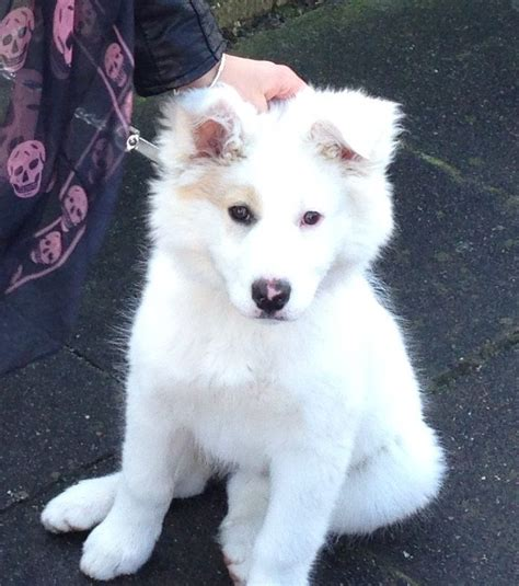 white husky puppy 6 month white shepherd husky puppy cleethorpes lincolnshire pets4homes