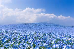 fields of blue flowers in japan fubiz media
