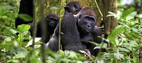 Visit the Cross River Gorillas of Africa | Rwanda Gorilla Tour