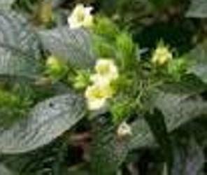 ramuan tradisional  ampuh  mengobati batu ginjal