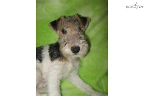 Wire Fox Terrier Shedding by Fox Terrier Wire For Sale For 600 Near Lake Of The