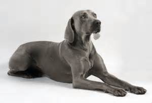 medium sized dogs that do not shed breeds picture