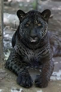 Jaguares Lions Las Fotos Alucinantes Jazhara Jaguar Y Negro