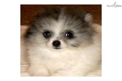 blue parti pomeranian tri color breeds breeds picture