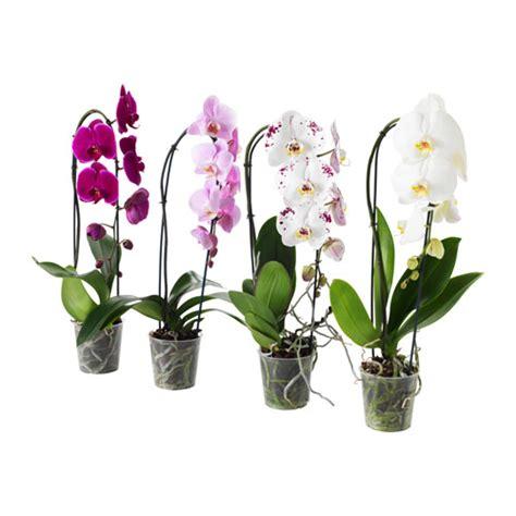 vaso per orchidea phalaenopsis phalaenopsis pianta da vaso ikea
