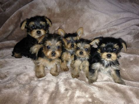 yorkie puppies for sale in east adorable terrier puppies for sale east pets4homes