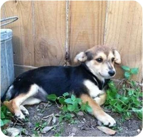corgi puppies houston sydney adopted puppy 1289 houston tx chihuahua corgi mix