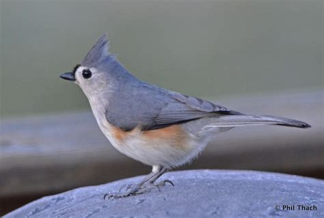 tufted titmouse phil thach