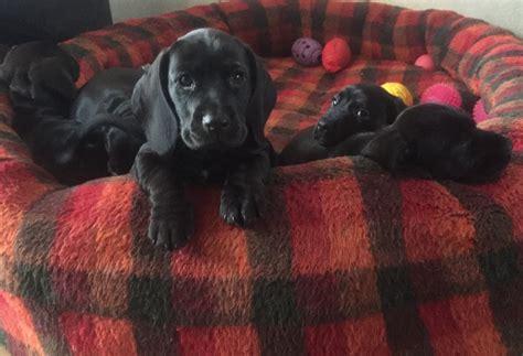 docker puppies dachshund cocker spaniel docker livingston west lothian pets4homes